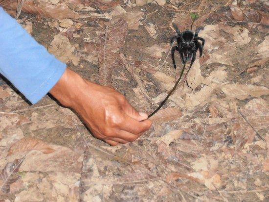 Ecoamazonia Lodge: tarantula