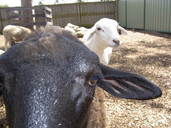 Hunter Valley Zoo: Sheep photo bomb