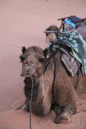 Auberge  Derkaoua: resting lead camel