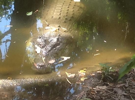 Wildlife Habitat Port Douglas: crocodile in the park