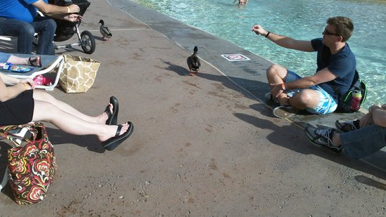 Disney's Beach Club Villas : Freeloading ducks LOL at Stormalong Bay