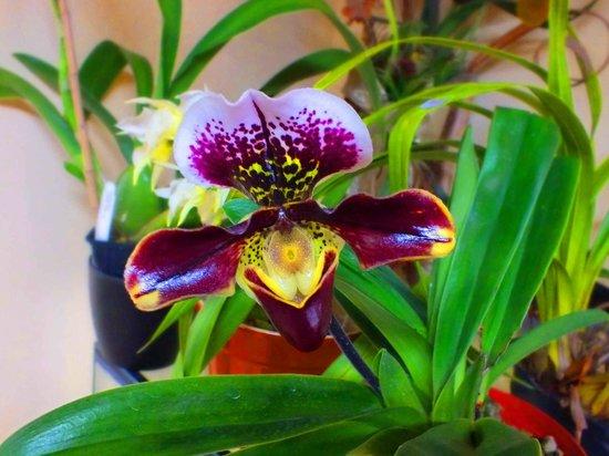 Ecuagenera - Orchids from Ecuador: Cup Orchid
