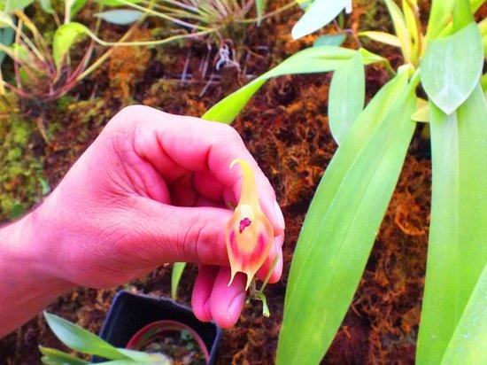 Ecuagenera - Orchids from Ecuador: Pinocchio Orchid
