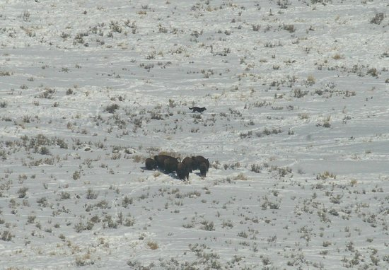 Yellowstone Wolf Tracker : Wolf 889F skirting a herd of wary bison.