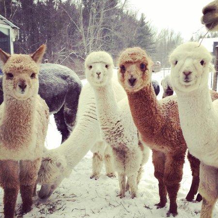 Colonial Hill Alpaca Farm and B&B: Alpacas in the snow