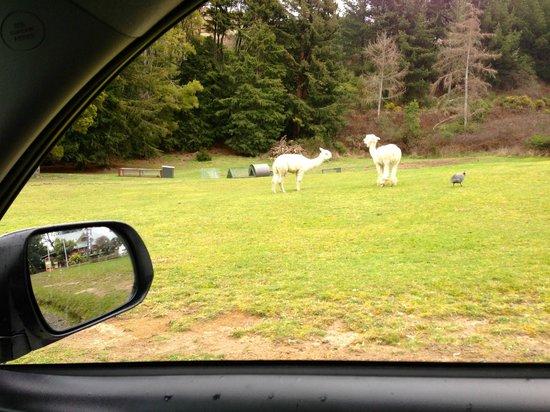 Chateau Tongariro Hotel : Llamas?