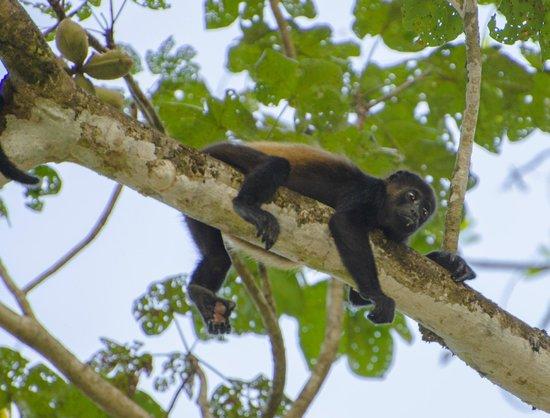 Werner Sauter Biological Reserve: Howler Monkey3