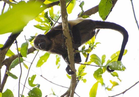 Werner Sauter Biological Reserve: Howler Monkey4