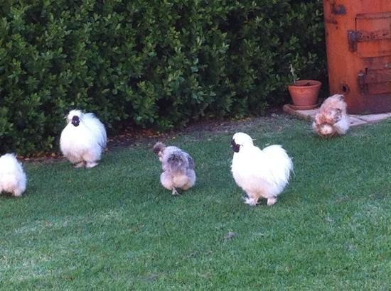 Merrijig Inn : inn chickens in garden