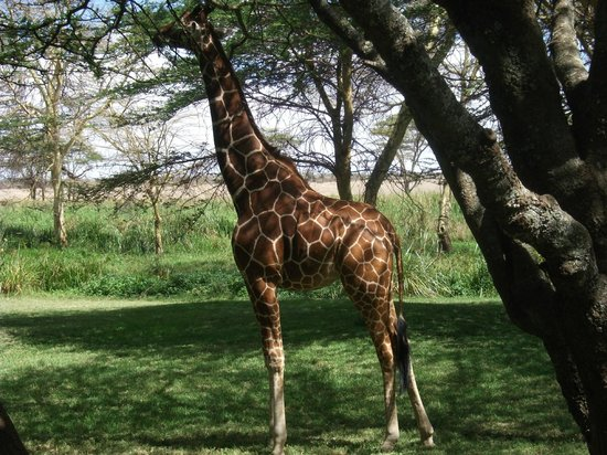 Lewa Wildlife Conservancy: Lunch with pet giraffe