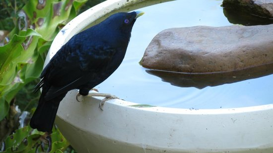 Peaceful Palms B&B: Satin Bower Bird