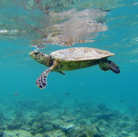 Cocoa Island by COMO: An encounter with a sea turtle