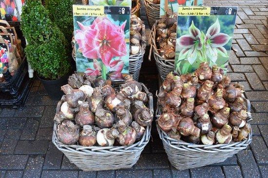 Flower Market / Bloemenmarkt: Bulbos de tulipas