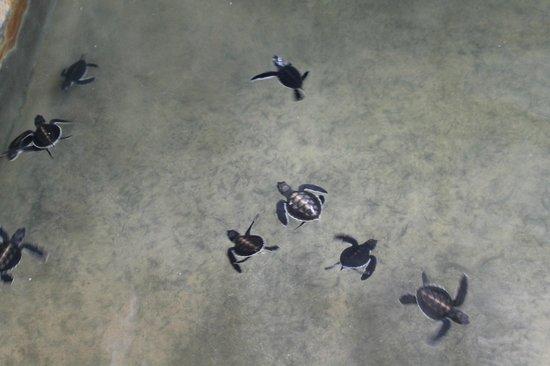Select Sri Lanka: Turtle Hatchery