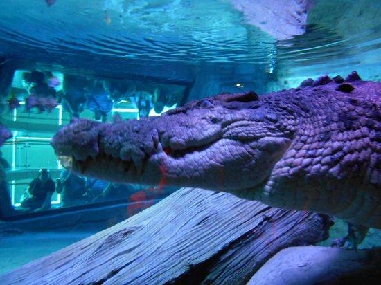 SEA LIFE Melbourne Aquarium: Pinjarra the mega croc is INCREDIBLE!
