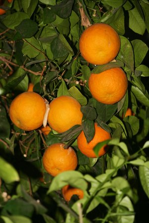 Riad Aguerzame : Oranges du patio !