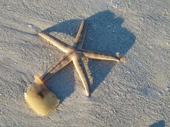 Island Inn: Starfish seen on the beach