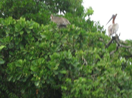 Parque Nacional Los Haitises: Brown Pelicans in Los Haitises