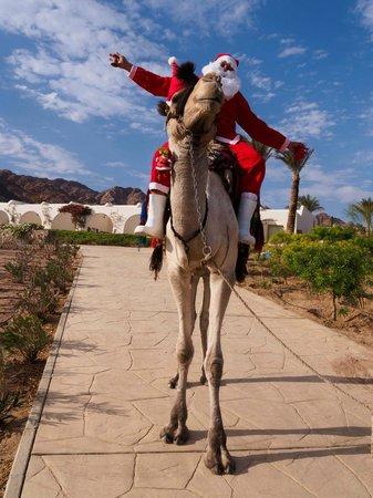 Le Meridien Dahab Resort: Santa arrived on a camel
