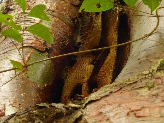 Wild honey bee hive - Picture of IXCACAO Maya Belizean