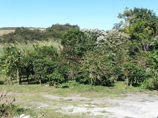 Don Juan Coffee Tour: Coffee plantation