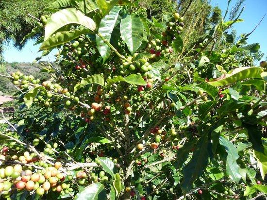 Don Juan Coffee Tour: Coffee plants