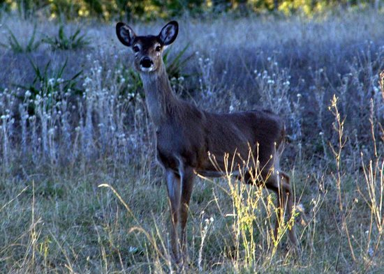Flying L Hill Country Resort: Deer!