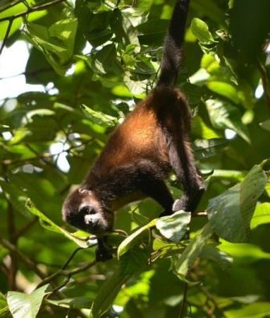 Saladero Eco Lodge : Howler monkey in Saladero