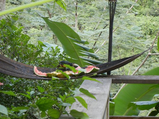 Black Rock Lodge: Toucans at the dining pavilion!
