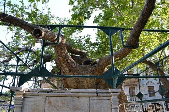 Hippocrates Tree : Albero