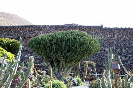 Jardín de Cactus: Une espèce du jardin de cactus