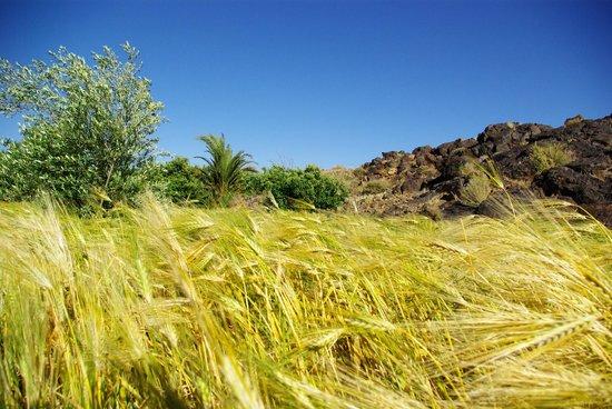 Auberge Kasbah la Datte d'Or Chez Abdellatif: champs de céréale en plein désert