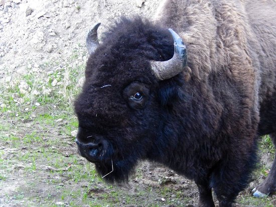Catalina Expeditions  Tours: Up close and personal visit with a Bison beside the road