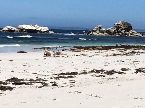Kangaroo Island Hire a Guide: Sealions