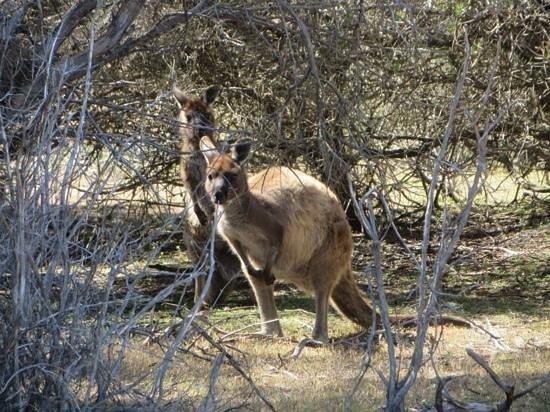 Kangaroo Island Hire a Guide: Kangaroos