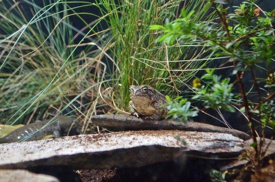 North Carolina Aquarium on Roanoke Island: Fowler's Toad