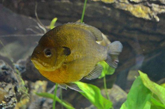 North Carolina Aquarium on Roanoke Island: Sunfish