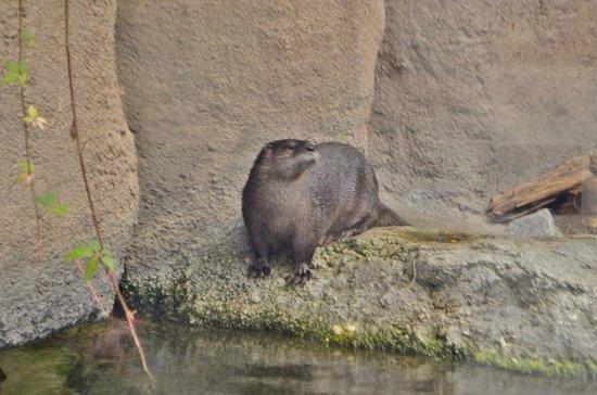 North Carolina Aquarium on Roanoke Island: River Otter