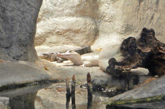 North Carolina Aquarium on Roanoke Island: Alligators
