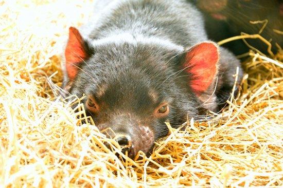 Tasmanian Devil Unzoo: Ready to attack!
