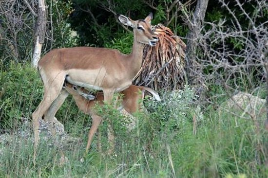 Nkomazi Game Reserve: Mother and baby Impala