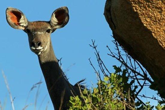 Nkomazi Game Reserve: Inquisitive young Kudu