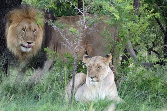 Nkomazi Game Reserve: Lions about to mate