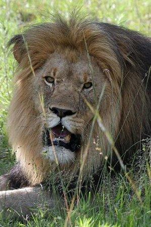 Nkomazi Game Reserve: Male Lion