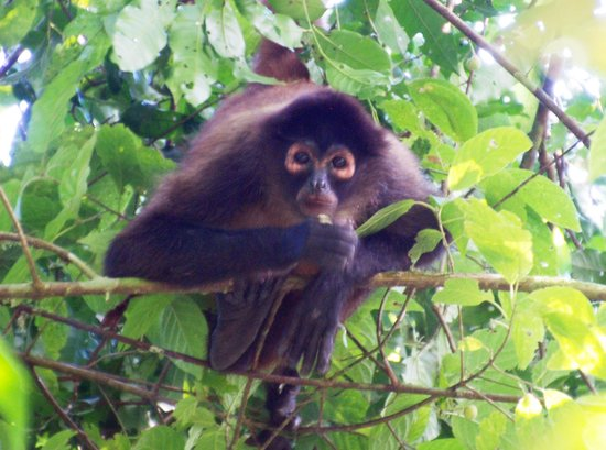 Pacheco Tours : Spider monkey C.N.P.
