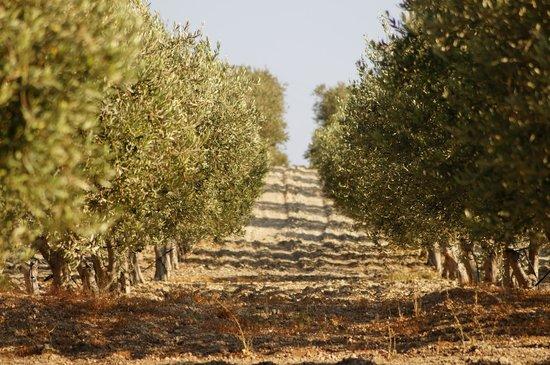 Mandranova: olive grove