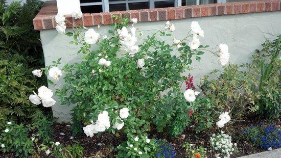 Carlsbad Inn Beach Resort : White roses