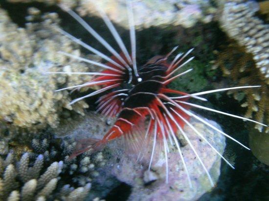 VOI Maayafushi Resort: pesce diavolo