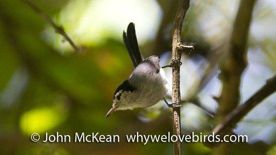 Bird Coiba - Birding Tours: Tropical Gnatcatcher