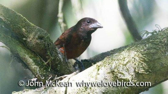 Bird Coiba - Birding Tours: Crimson-Backed Tananger